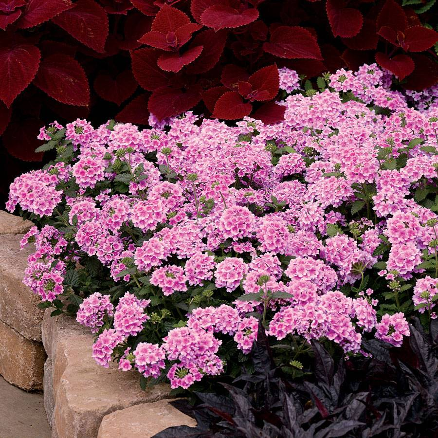 Verbena EnduraScape™ Pink Bicolor (pack of 3)