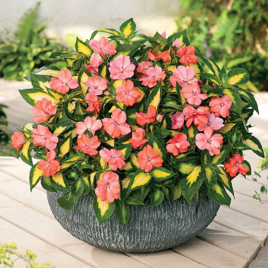 SunPatiens® Vigorous Varigated Tropical Salmon