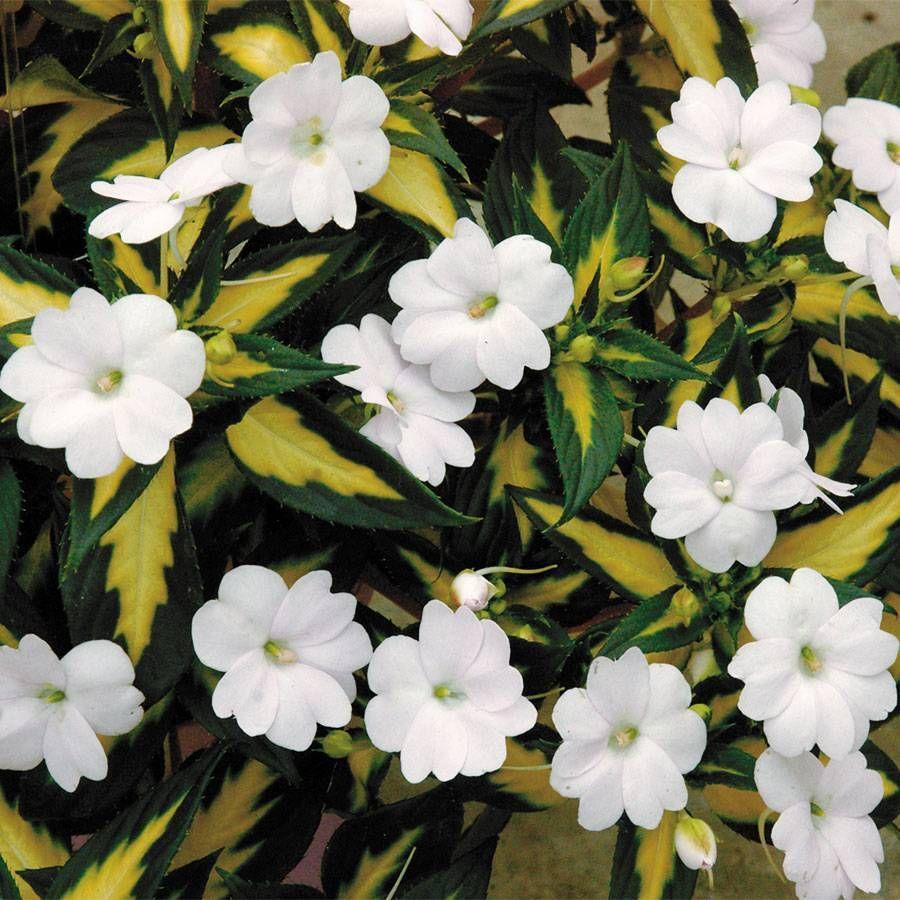 Sunpatiens Vigorous Tropical White Pack Of 3 From Jackson Perkins