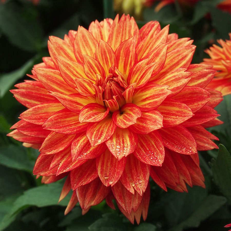 Xxl Tabasco Dahlia Pack Of 3 At Jackson Perkins