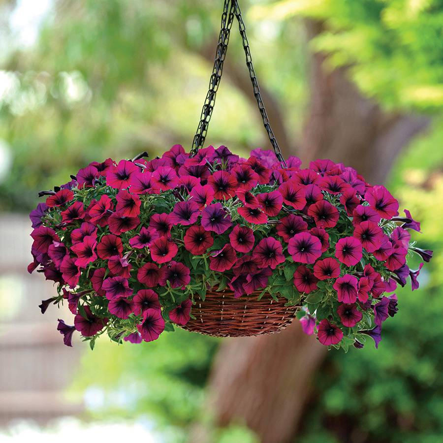 Petunia Shock Wave® Deep Purple Plants