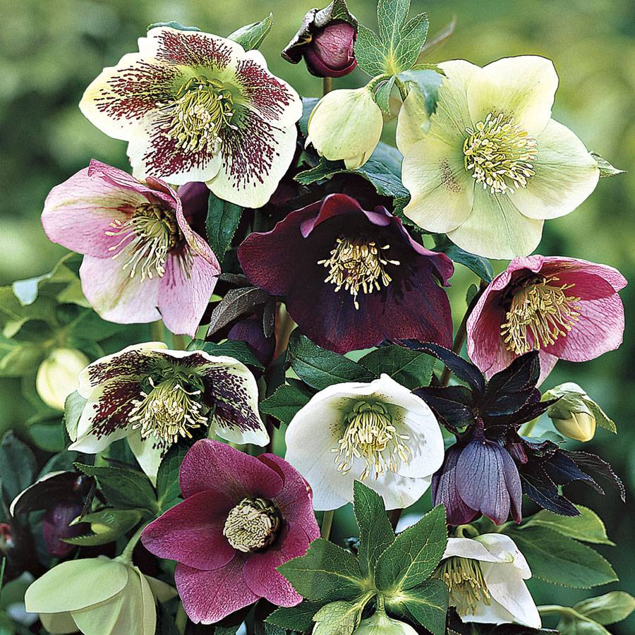 helleborus royal heritage u2122 strain at jackson  u0026 perkins