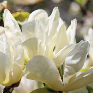 Elizabeth Magnolia Tree