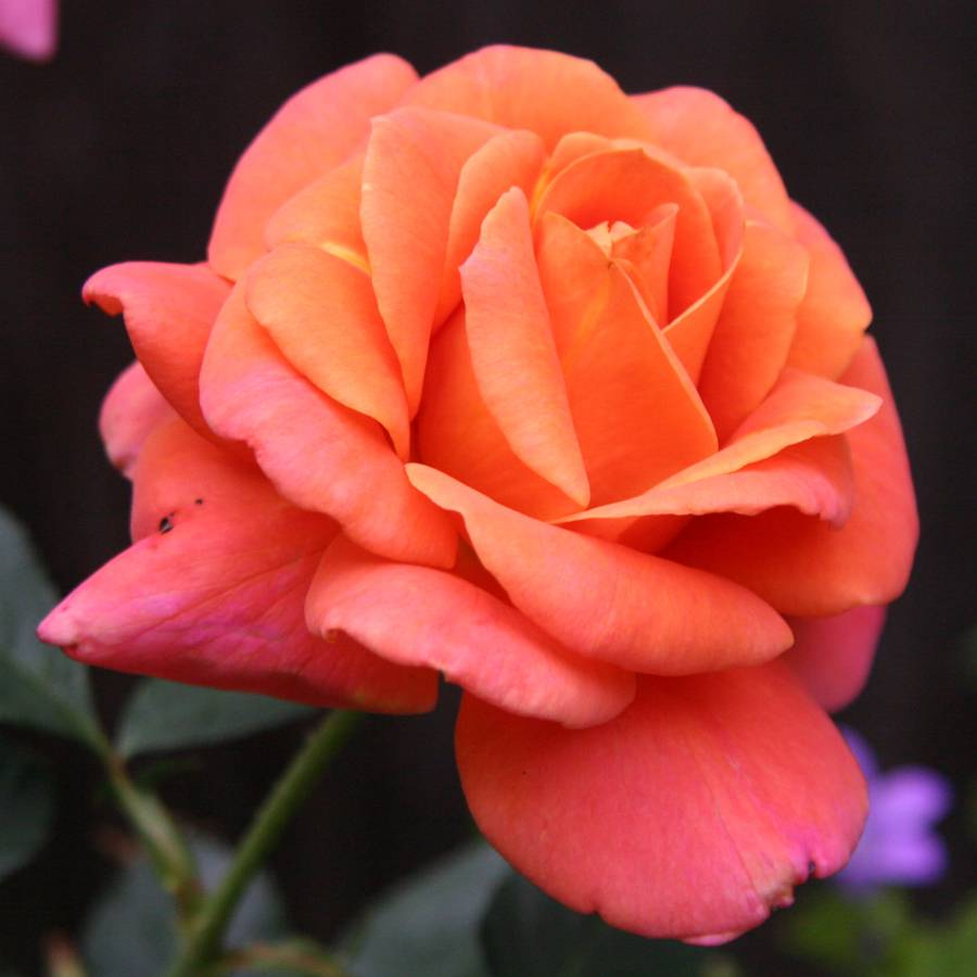 Disneyland floribunda rose mightylinksfo