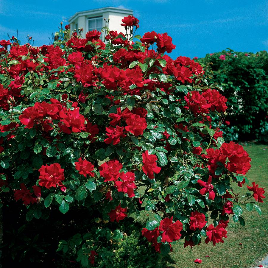 Picture of Live Rose (climbing, red) aka Rosa climber 'Don Juan' Plant Fit 5 Gallon Pot