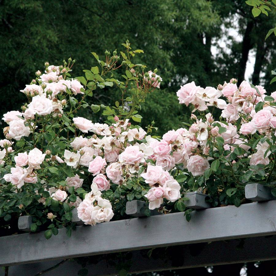 New Dawn Climbing Rose