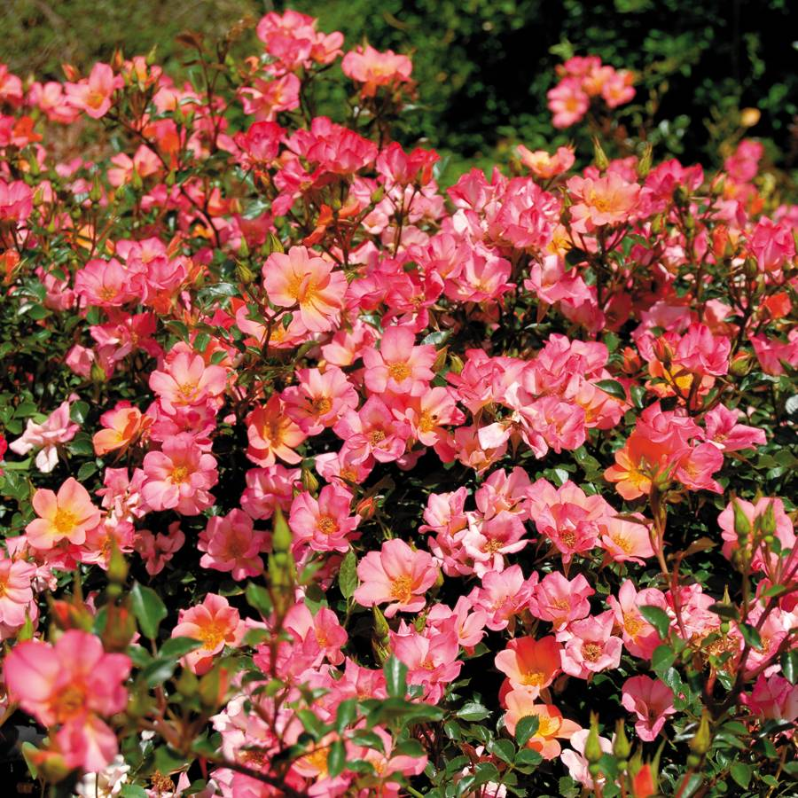 Roses In Garden: 'Happy Chappy' Groundcover Rose At Jackson & Perkins