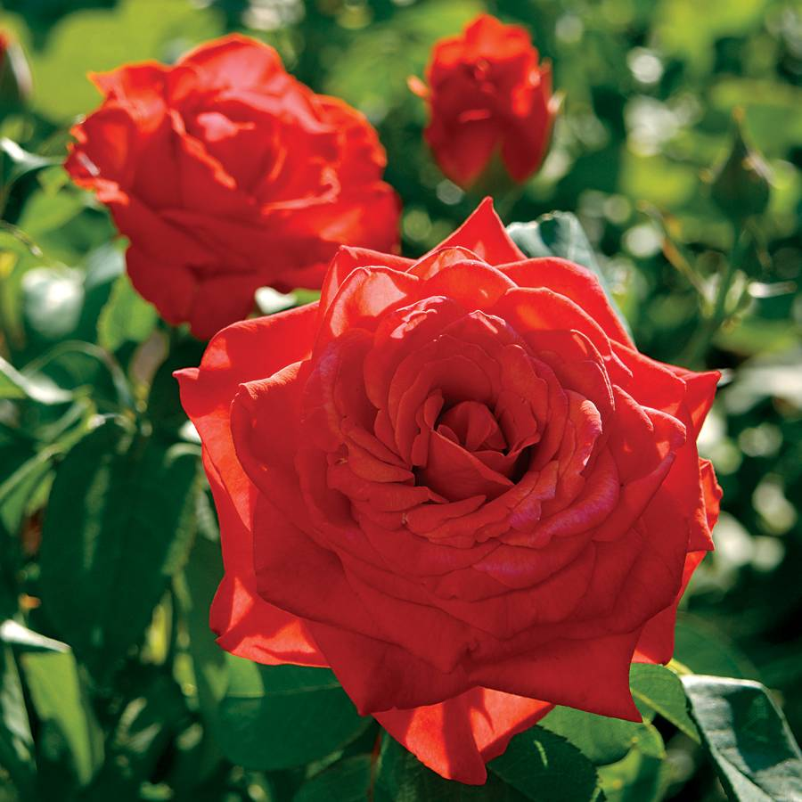 Lady Bird Hybrid Tea Rose