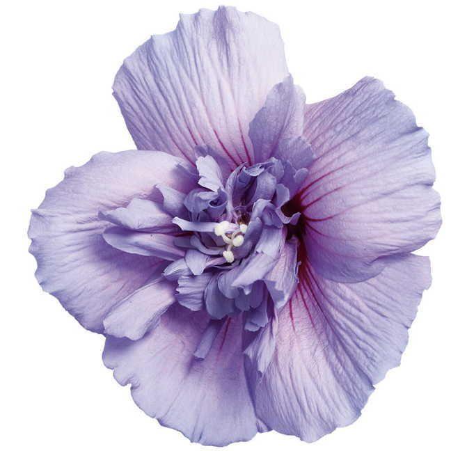 Blue Chiffon™ Hibiscus syriacus Shrub