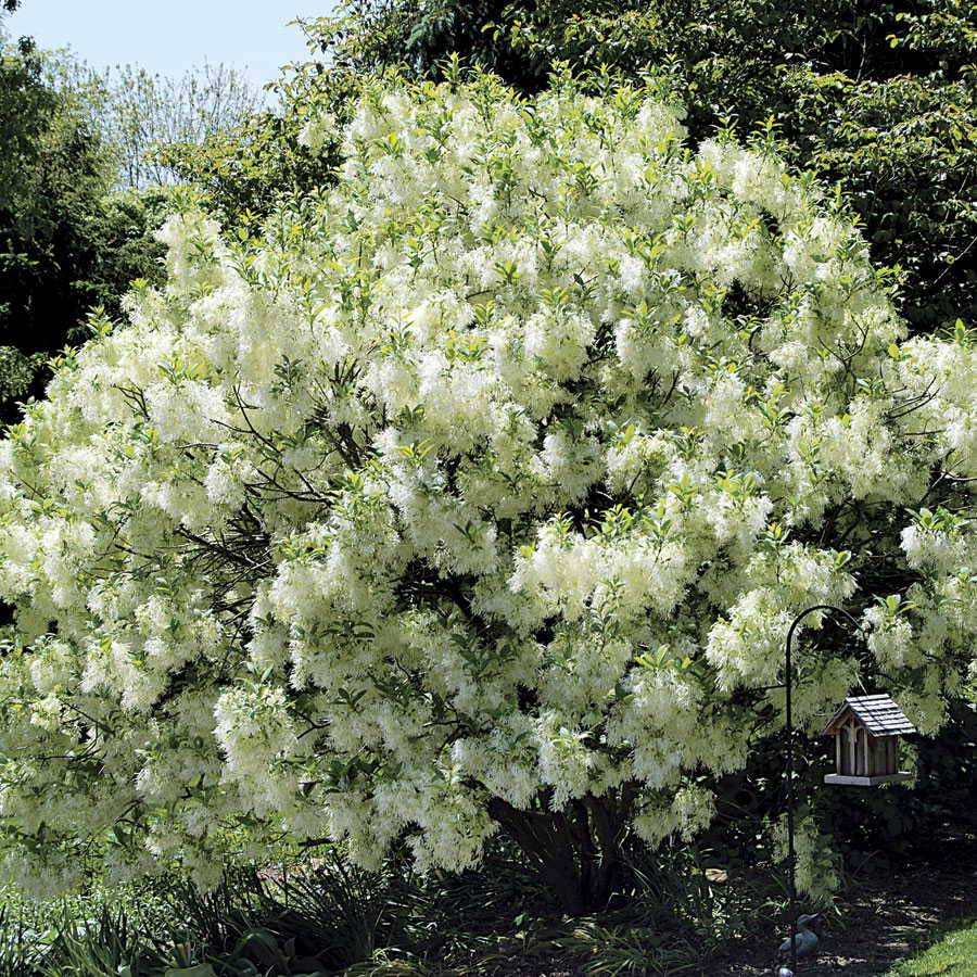 White Knight Fringetree