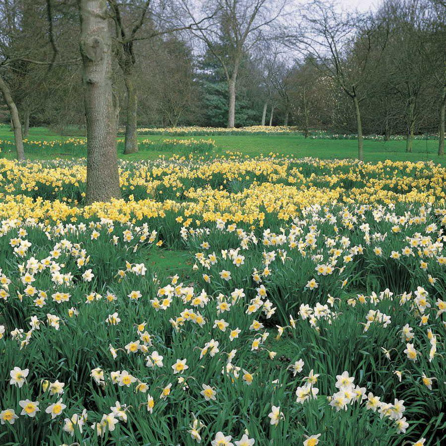 Naturalizing Daffodil Mix - Pack of 20