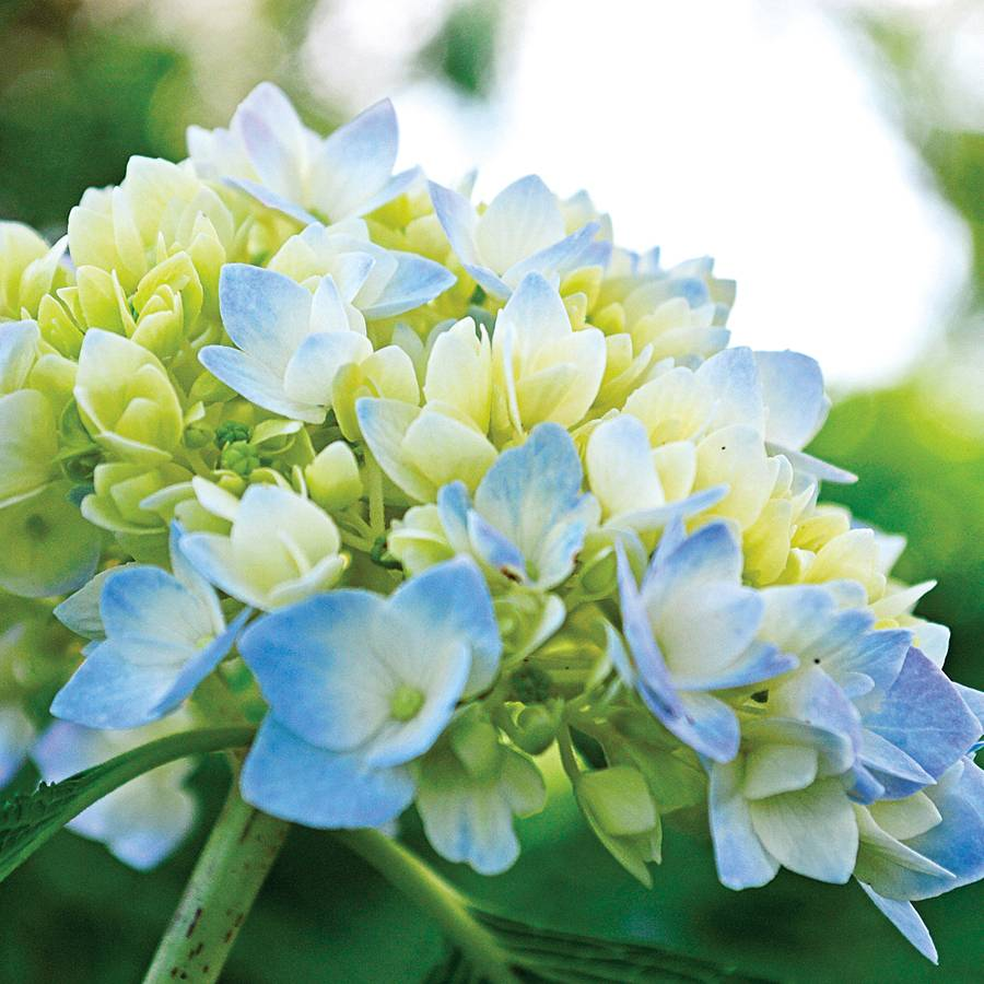 Endless Summer Hydrangea For Sale At Jackson And Perkins