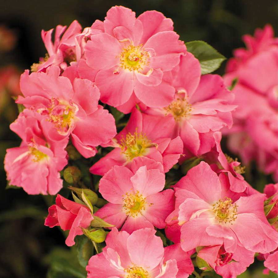 Groundcover Roses Hardy Low Maintenance Brilliant Blooms