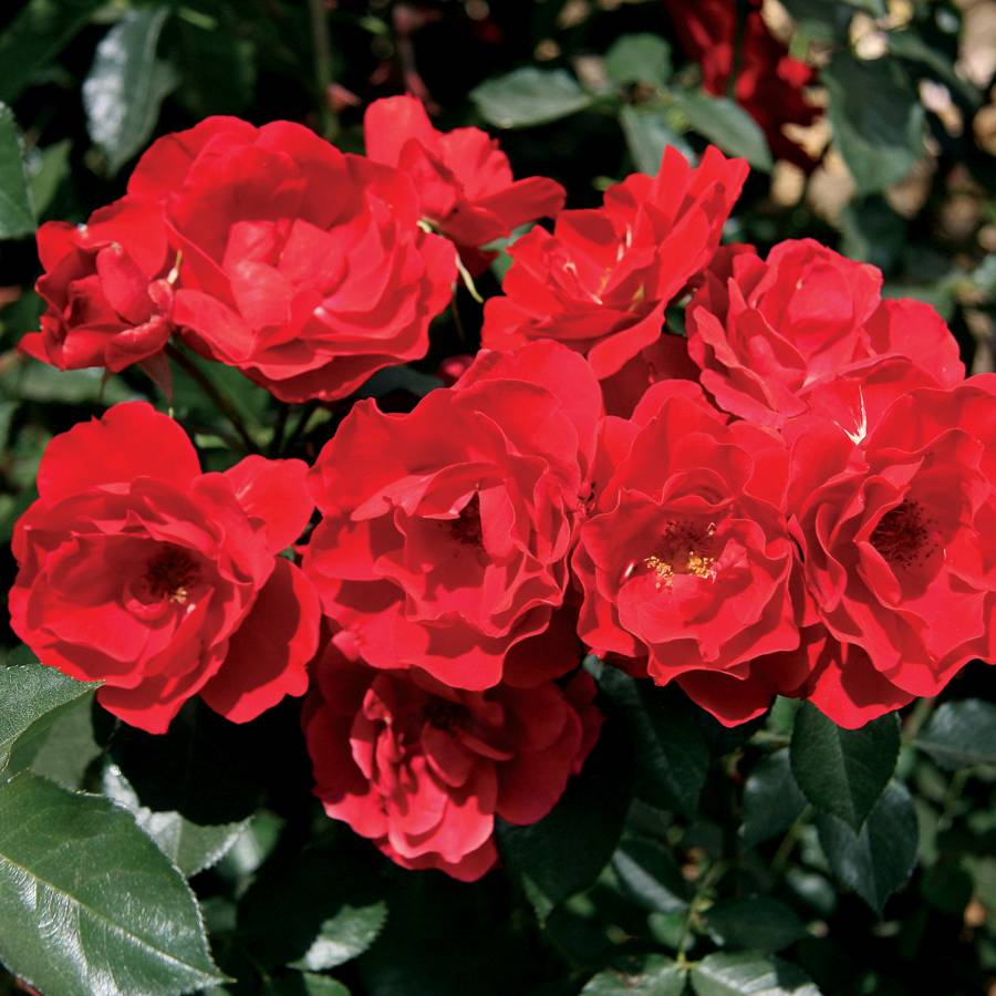 Double Red Simplicity® Hedge Rose