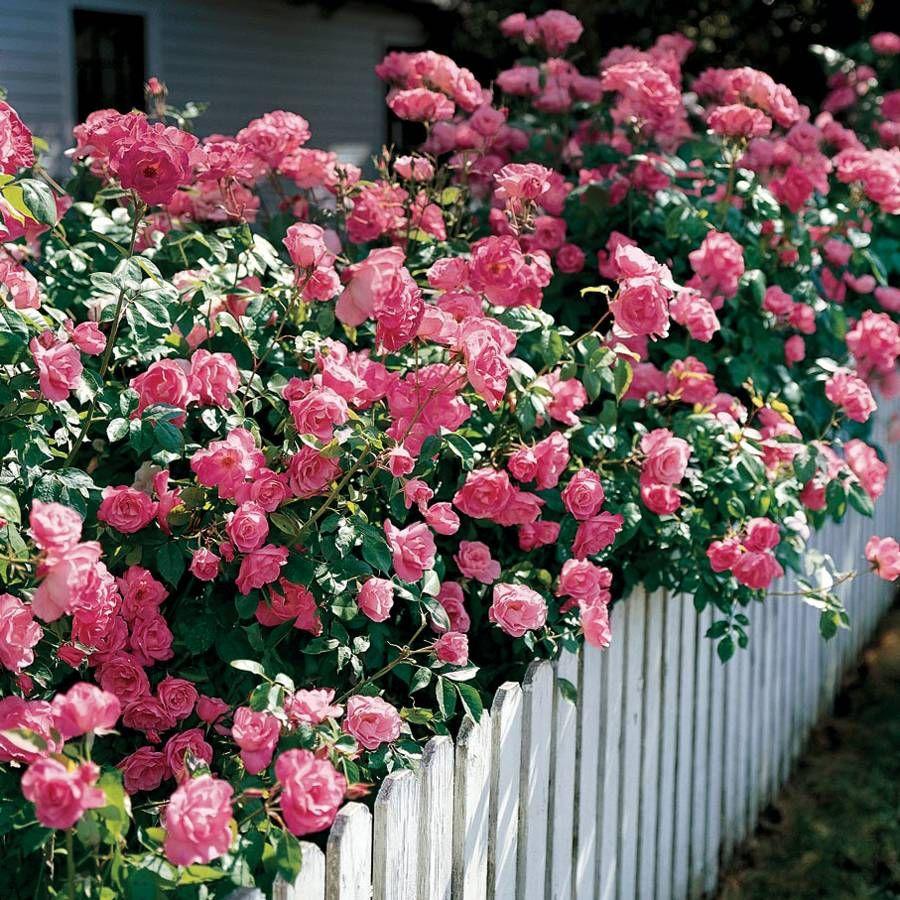 Simplicity Hedge Rose Image
