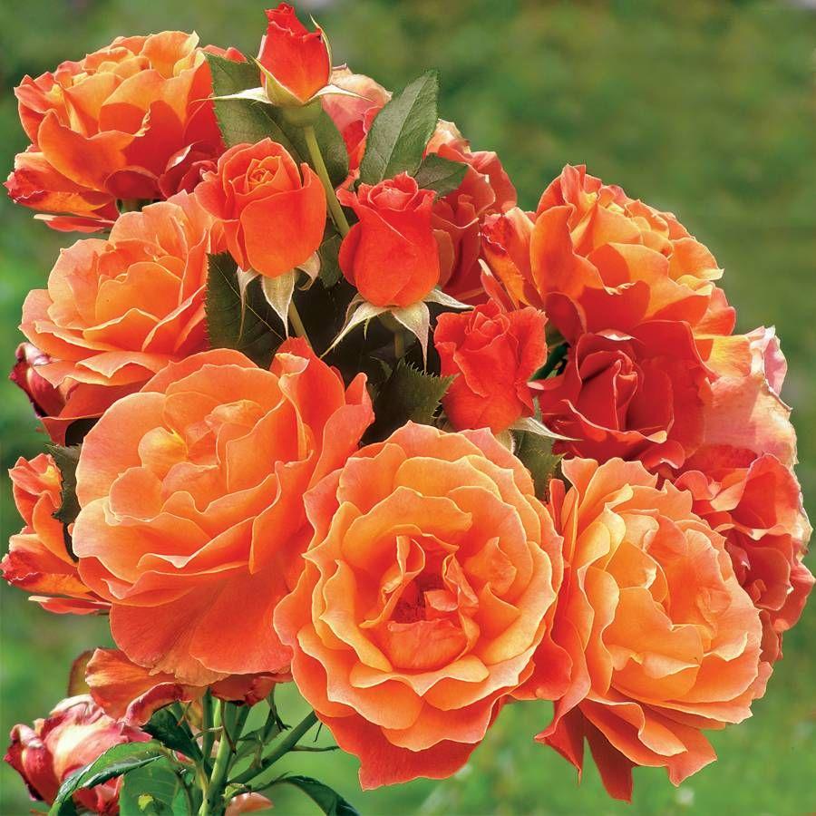 Livin Easy Floribunda Rose