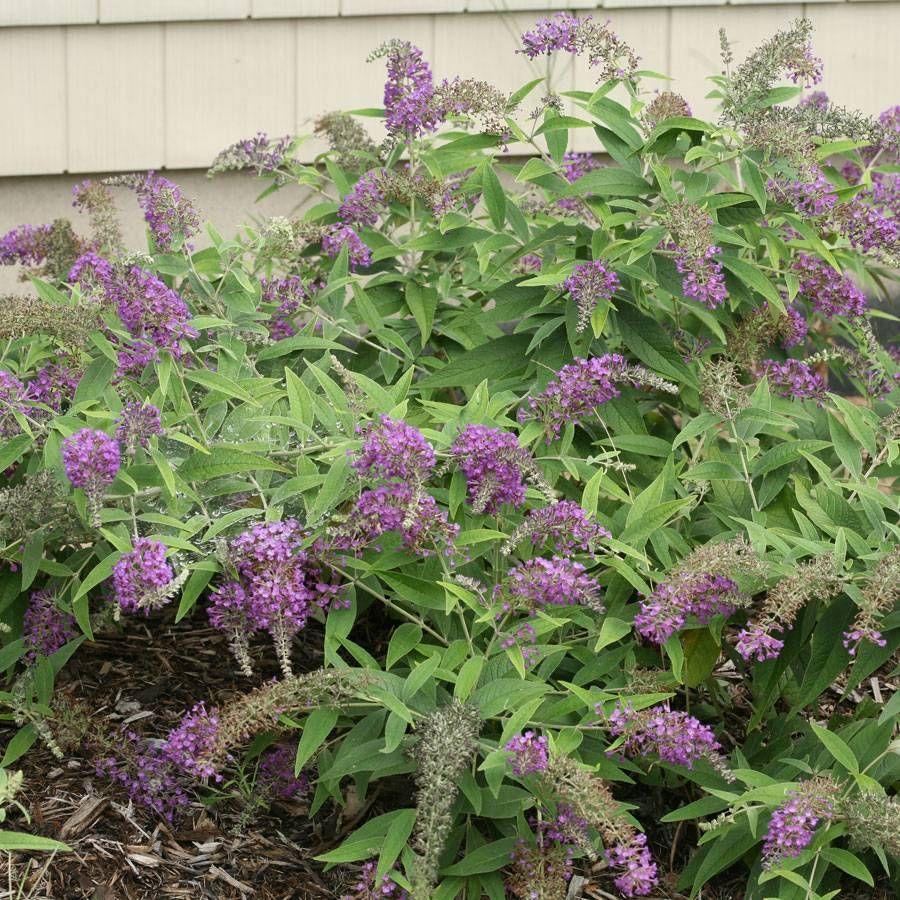 Lo & Behold® Purple Haze Butterfly Bush