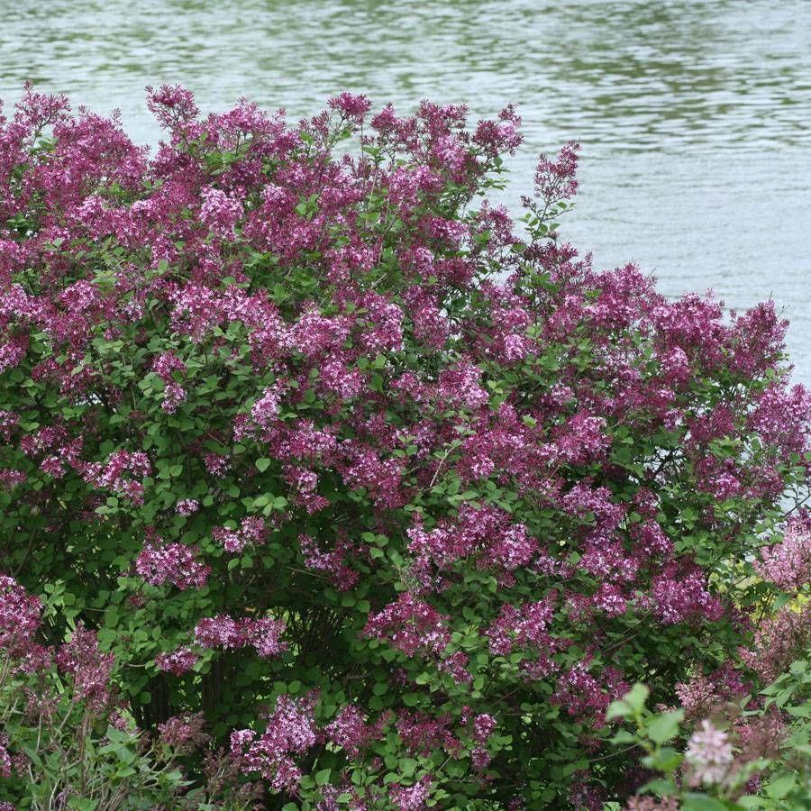 Bloomerang® Dark Purple Syringa