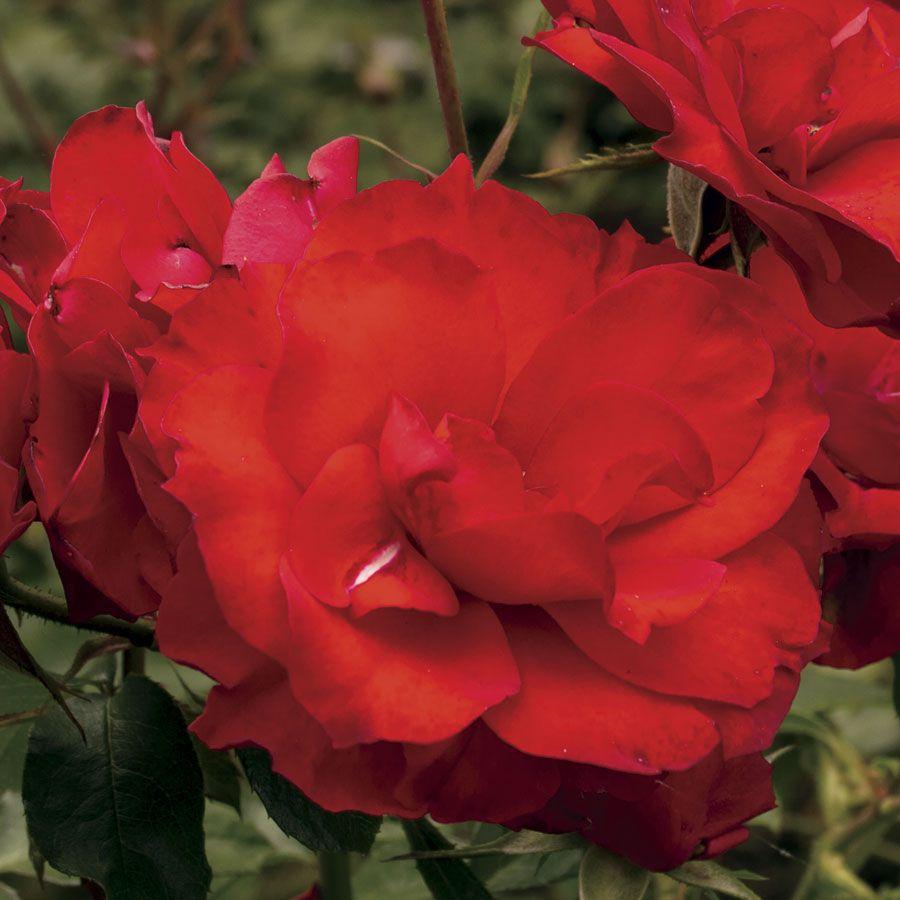 Sevillana® Shrub Rose Image
