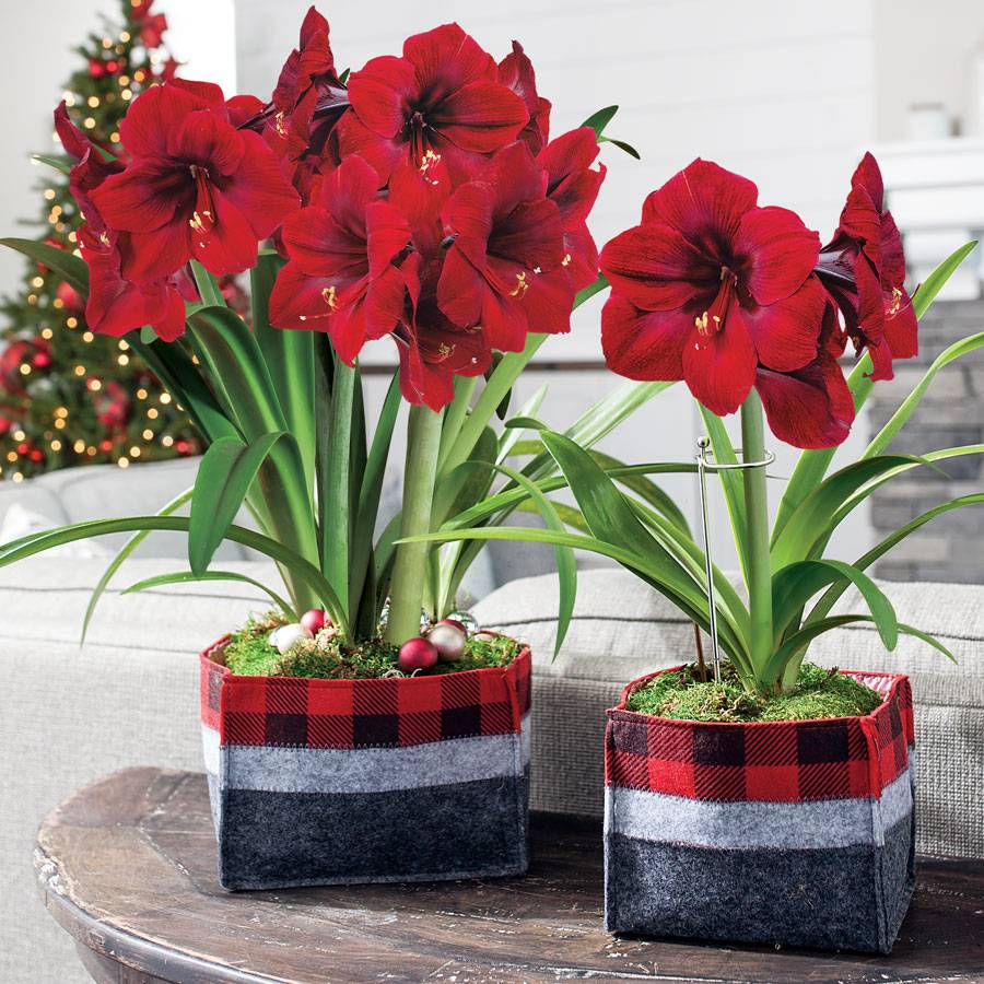 Amaryllis plant care instructions - Winters Warmth Red Lion Amaryllis Gift
