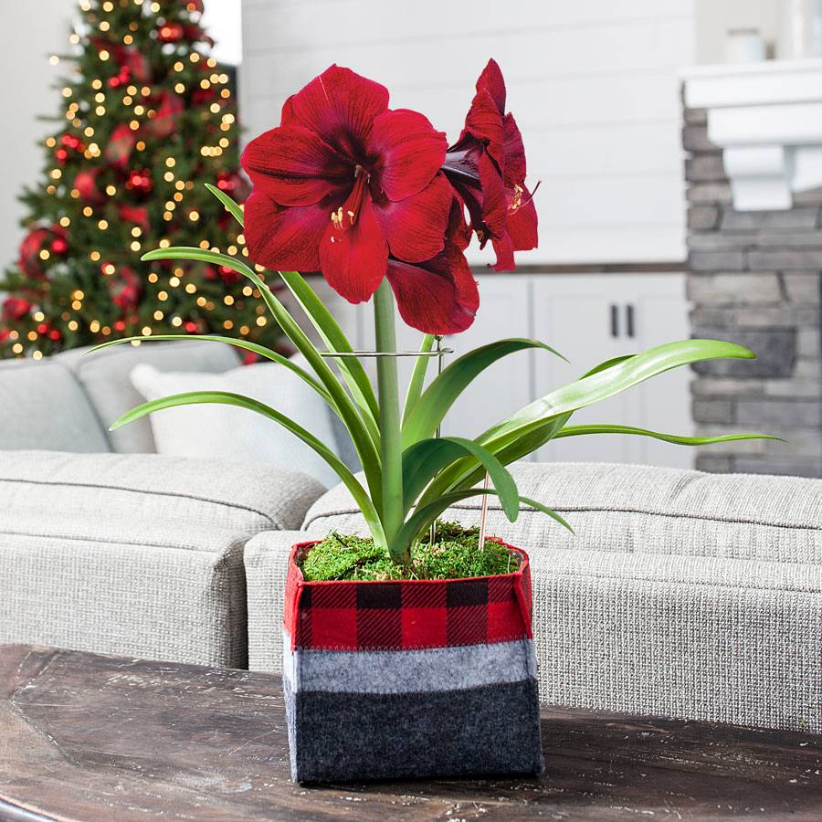 Winter's Warmth Red Lion Amaryllis