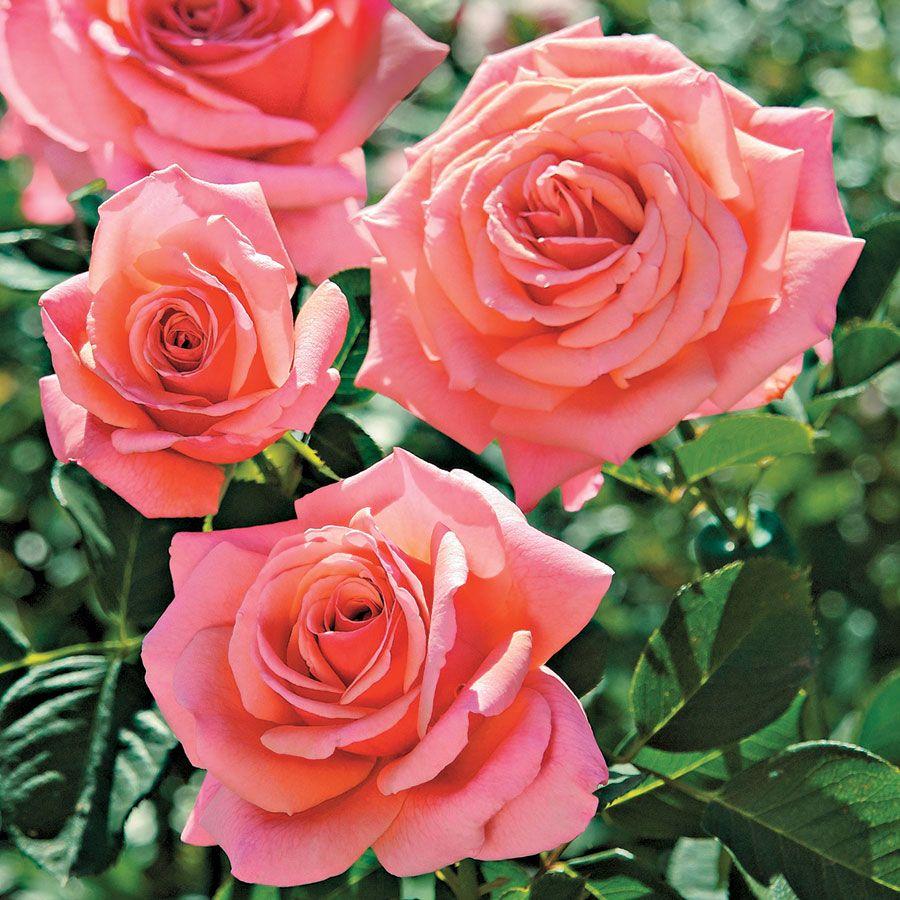 Catalina™ Grandiflora Rose