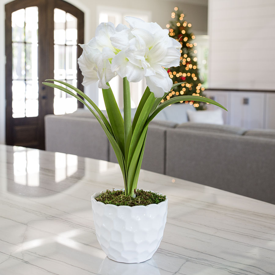 First Snow Amaryllis