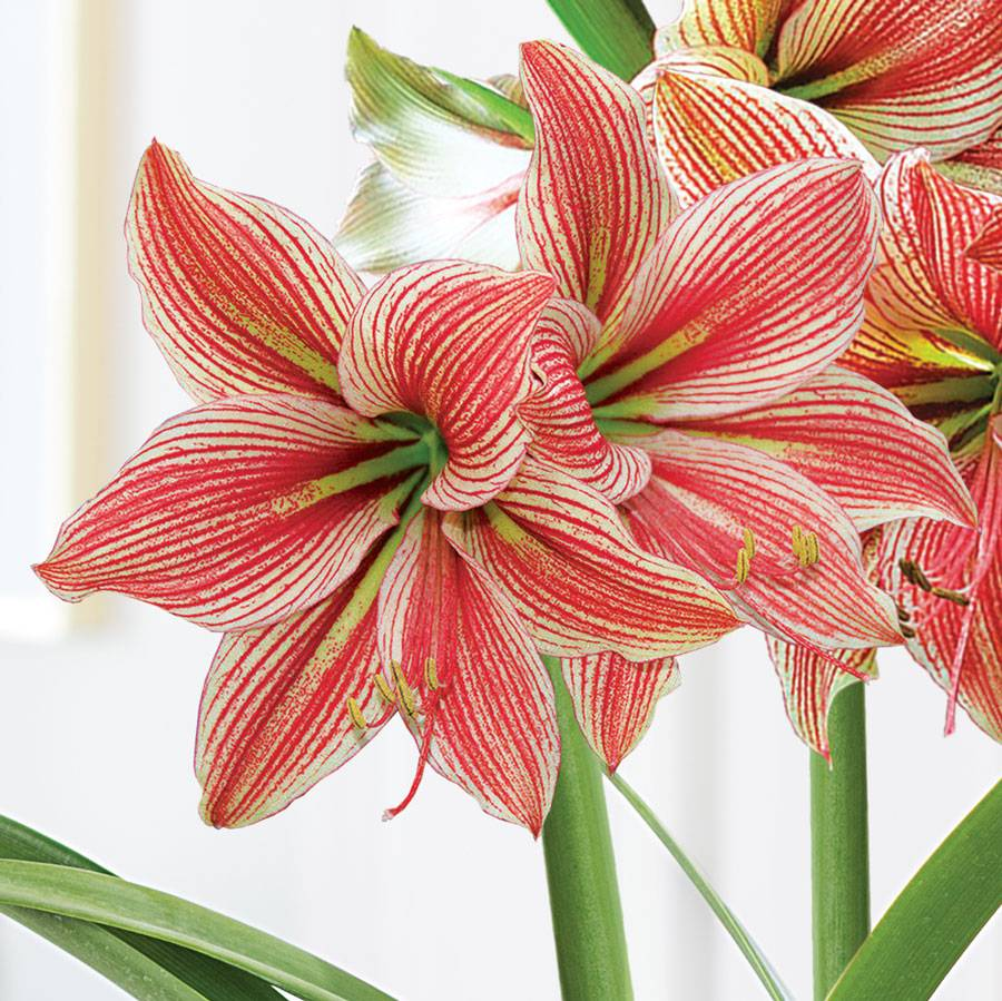 Gifts of Gladness Amaryllis