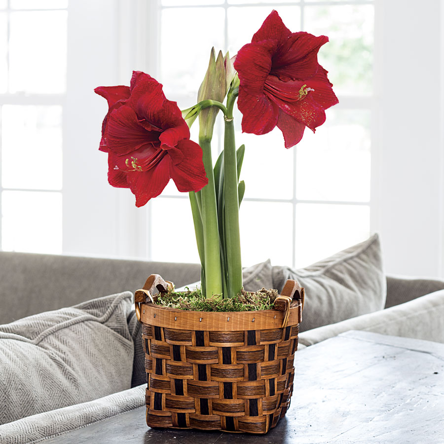 Sweet Sentiments Amaryllis