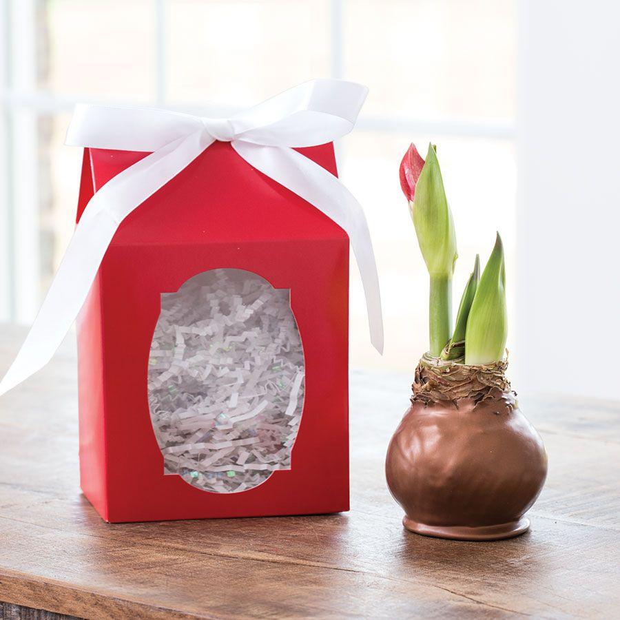Waxed Amaryllis Bulbs
