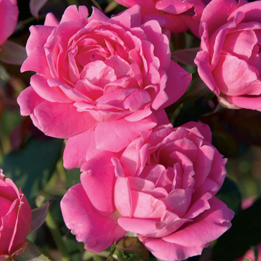 Pink Double Knock Out® Shrub Rose Image