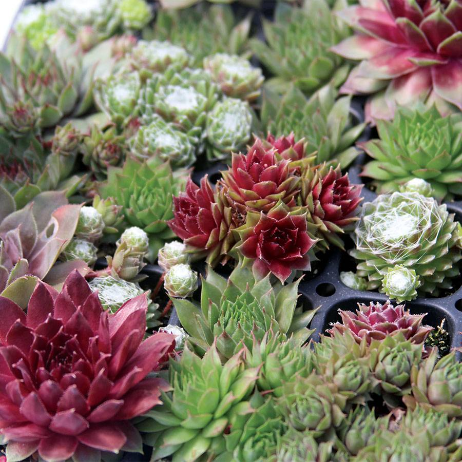 Sempervivum Assorted Image