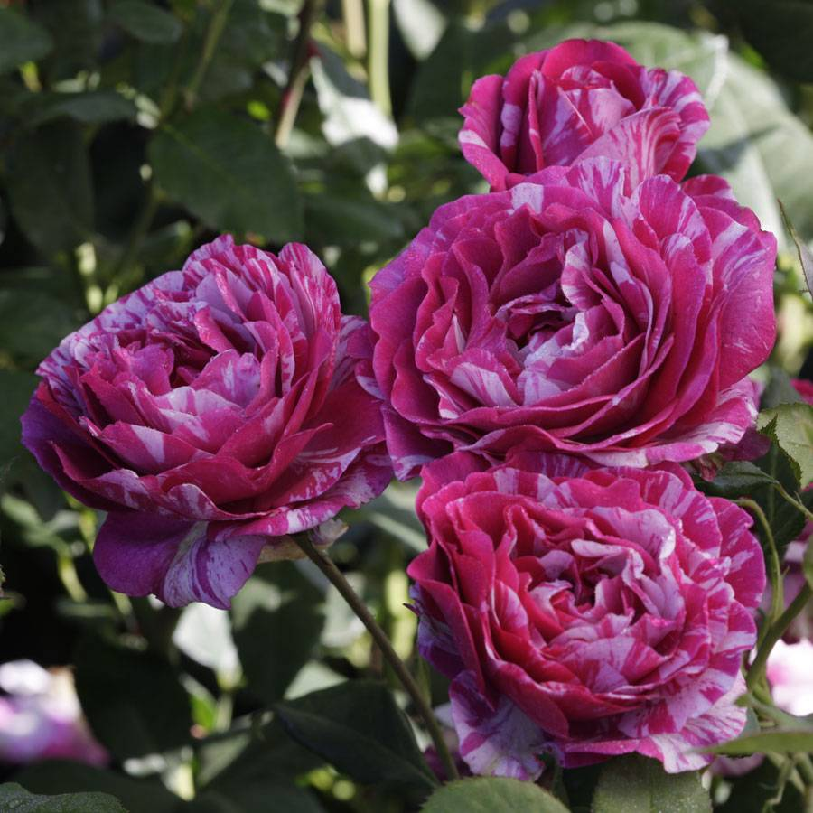 Show Your Stripes Grandiflora Rose Image