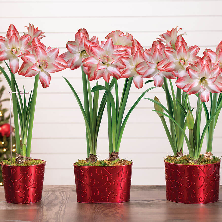 Sweet Treat Amaryllis Image