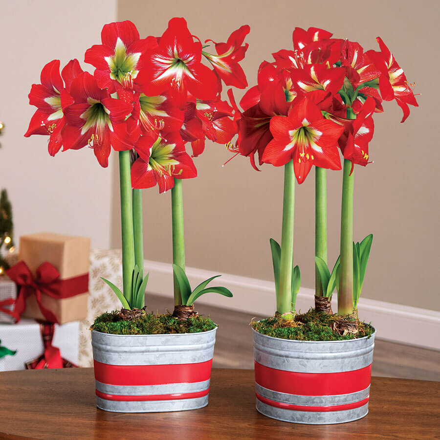 Home for Christmas Amaryllis Image