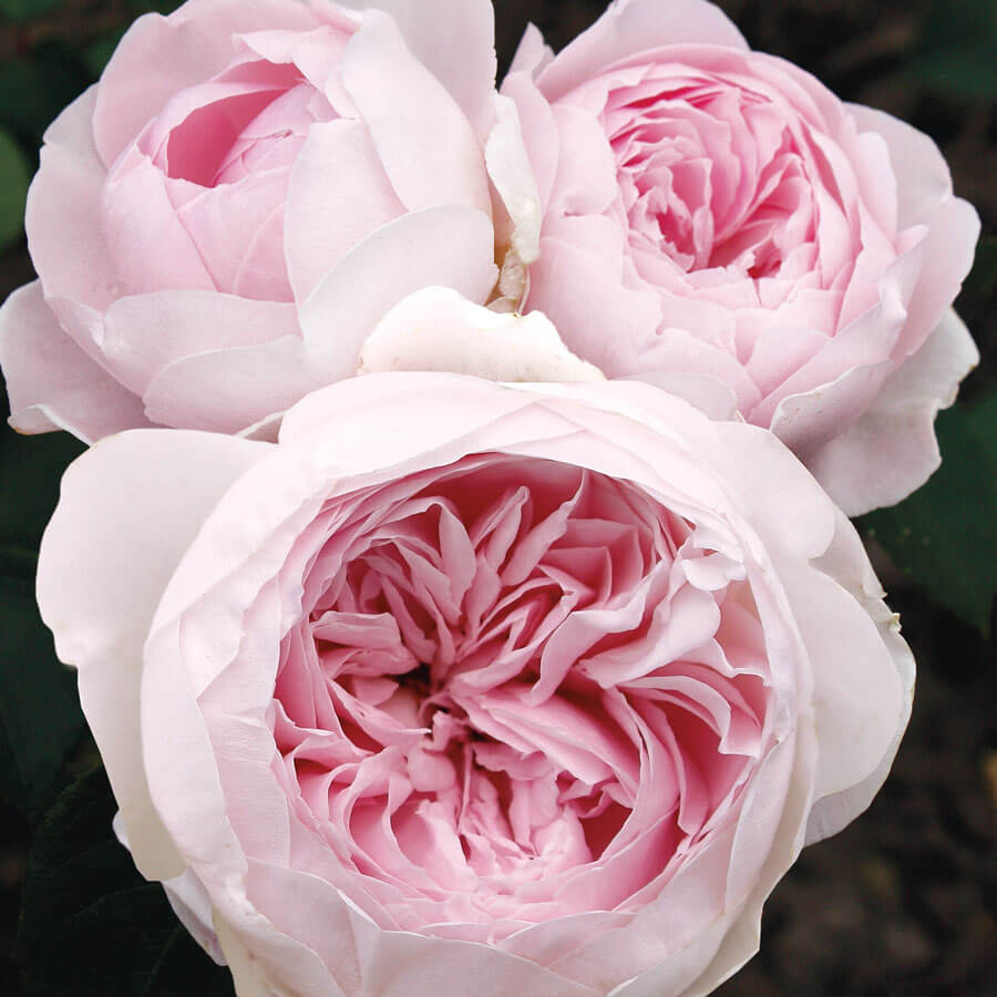 Earth Angel Parfuma® Floribunda Rose Image