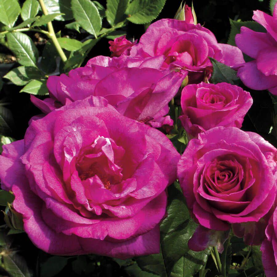 Sweet Intoxication Floribunda Rose Image